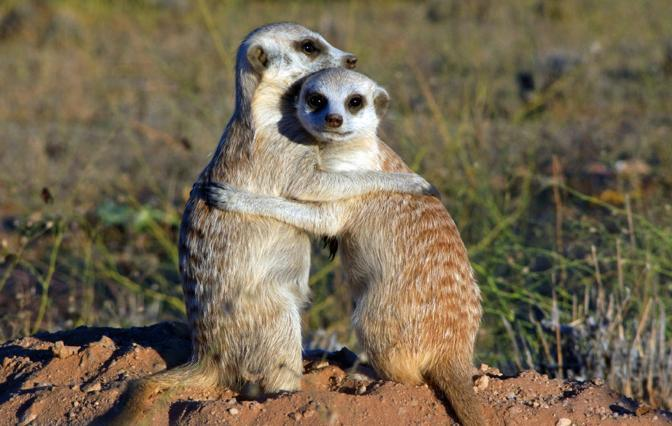 NGCI: CLAN OF THE MEERKATS (aka Meerkats of the Namib) IBMS: 028011
